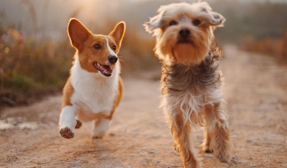 yurtdışına kedi köpek götürmek
